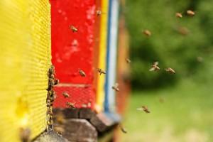 Domesticated-Honeybees-Returni-90570362